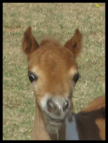 Arabian Style Miniature Horse Bred By Scott Creek Farm